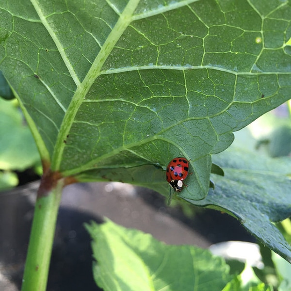ladybug at The Farm