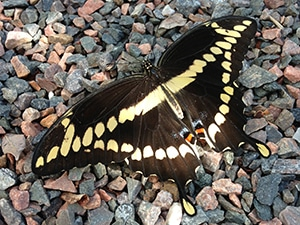 swallowtail on pebbles